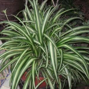 Planta-paianjen